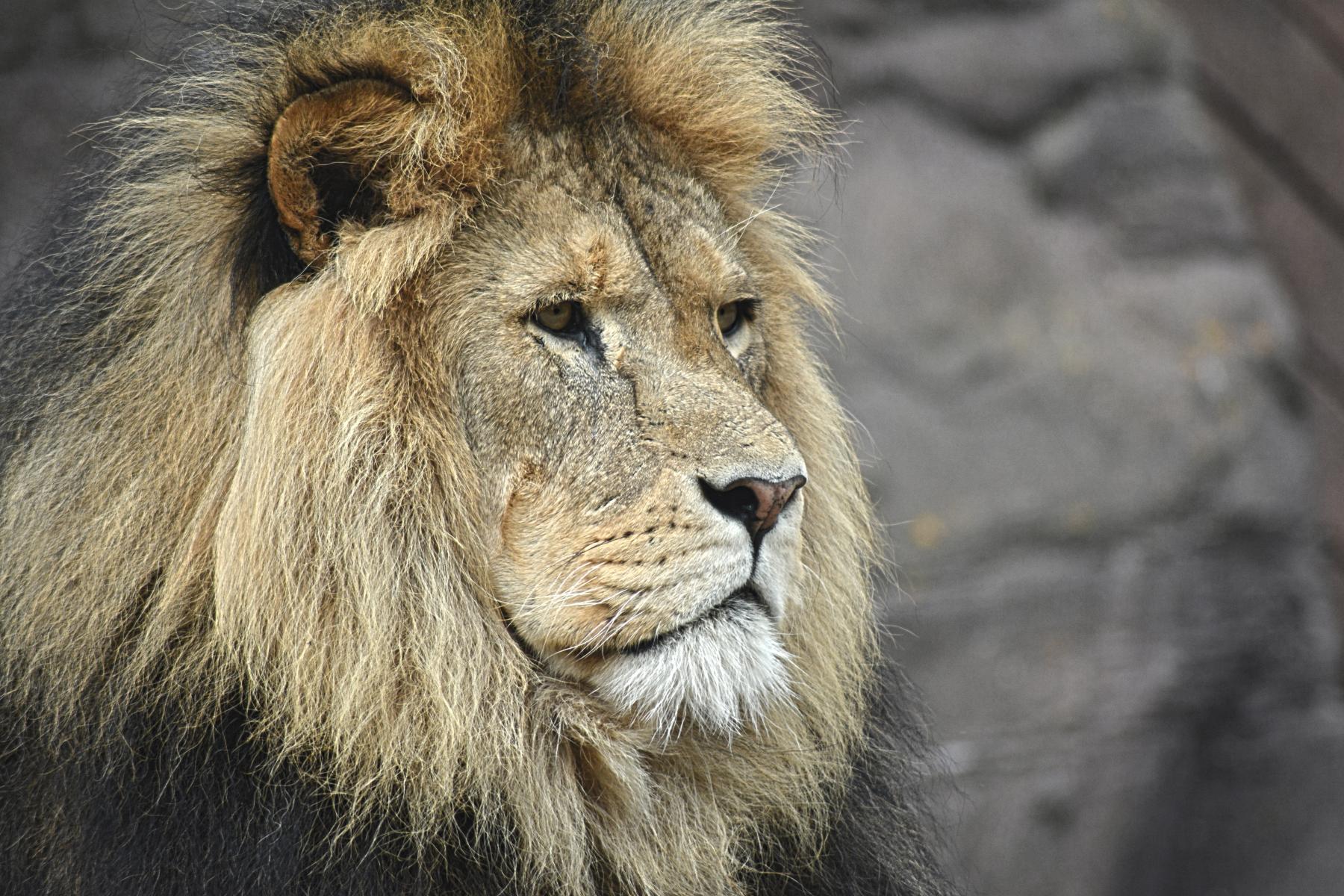 Gott schickte seine Engel, um Daniel in der Löwengrube zu beschützen. Gott schickt seine Engel, um auch Sie in der Löwengrube der ÄngsteBedrängnis  bestens zu behüten (Foto: unsplash.com)